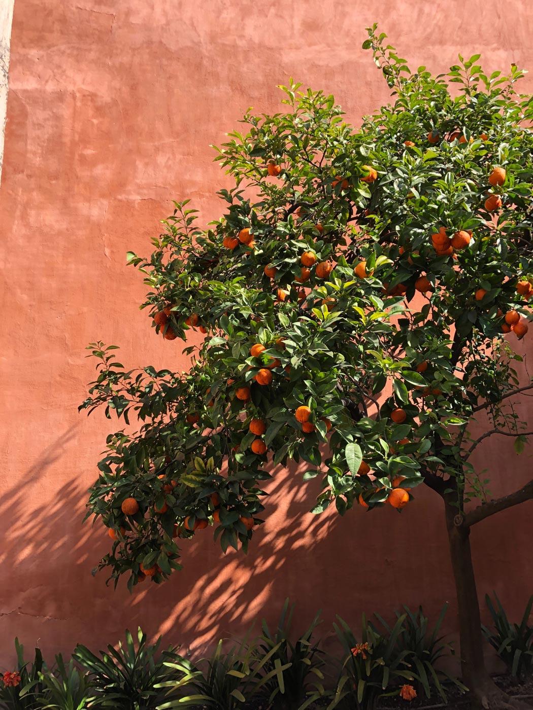 Naranjo de Sevilla